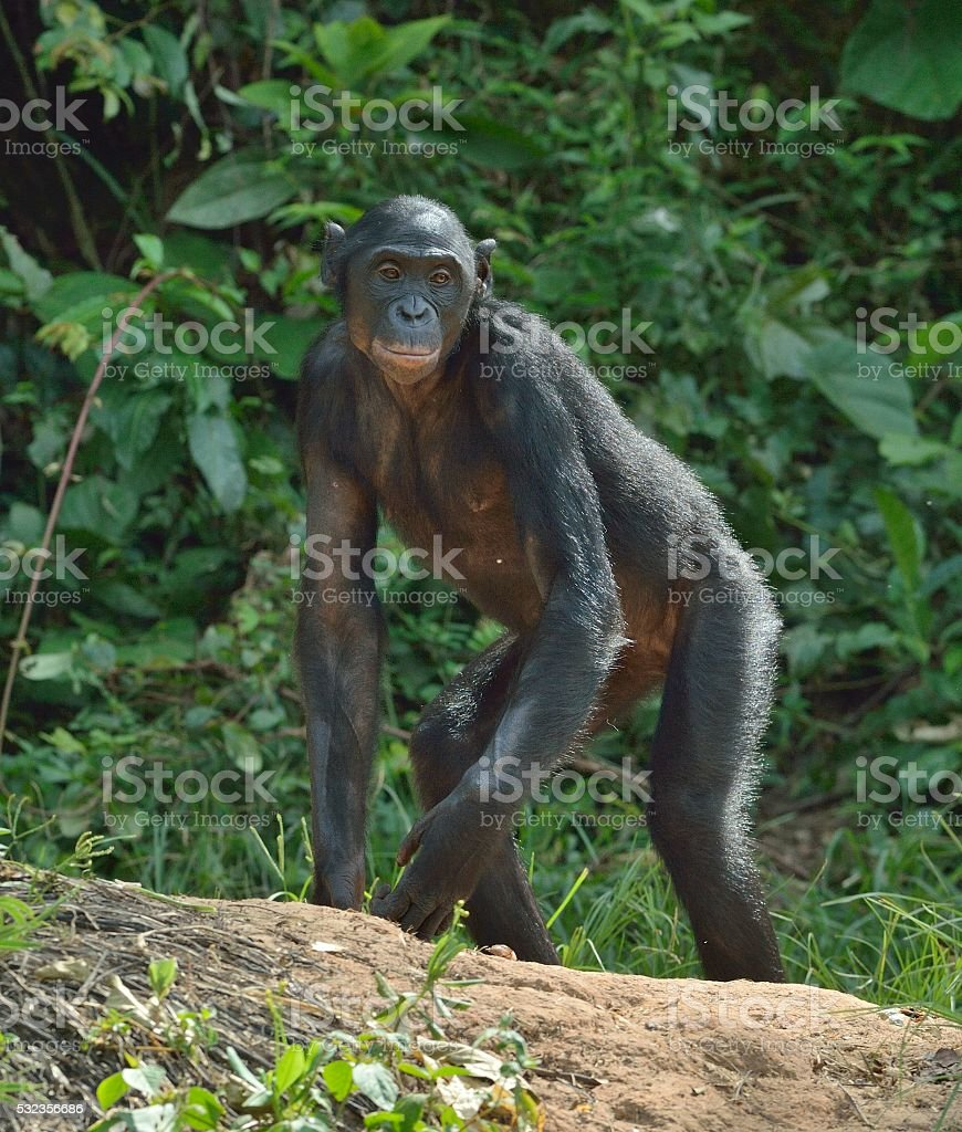 The bonobo on the green natural background. stock photo