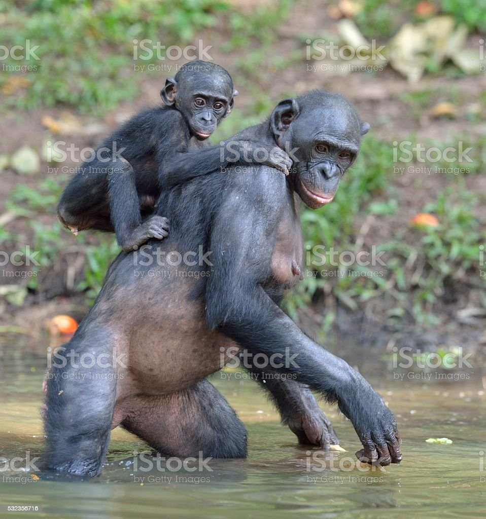 The Bonobo standing on legs in water with a cub stock photo