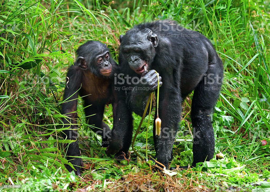 The Bonobos and lily stock photo