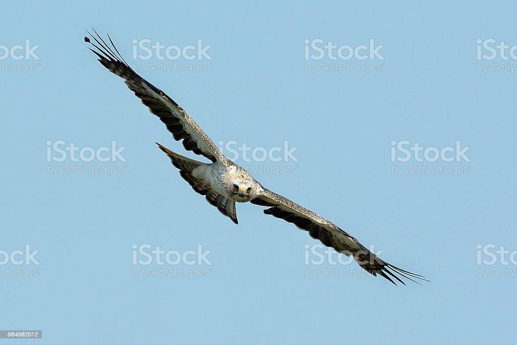 The booted eagle (Aquila pennata) stock photo