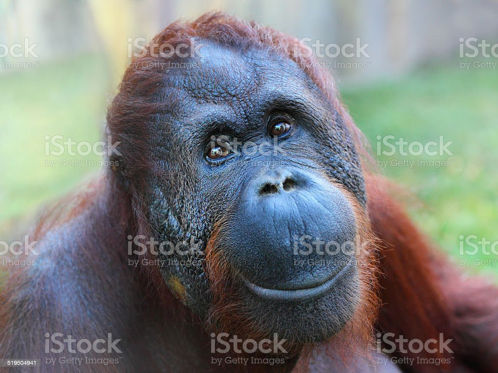 The Bornean orangutan (Pongo pygmaeus). royalty-free stock photo