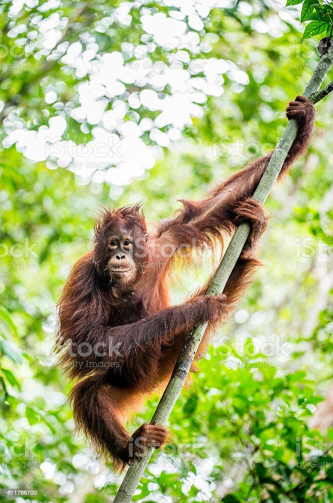 The Bornean orangutan stock photo