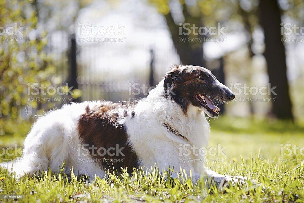 The borzoi lies on a grass. stock photo