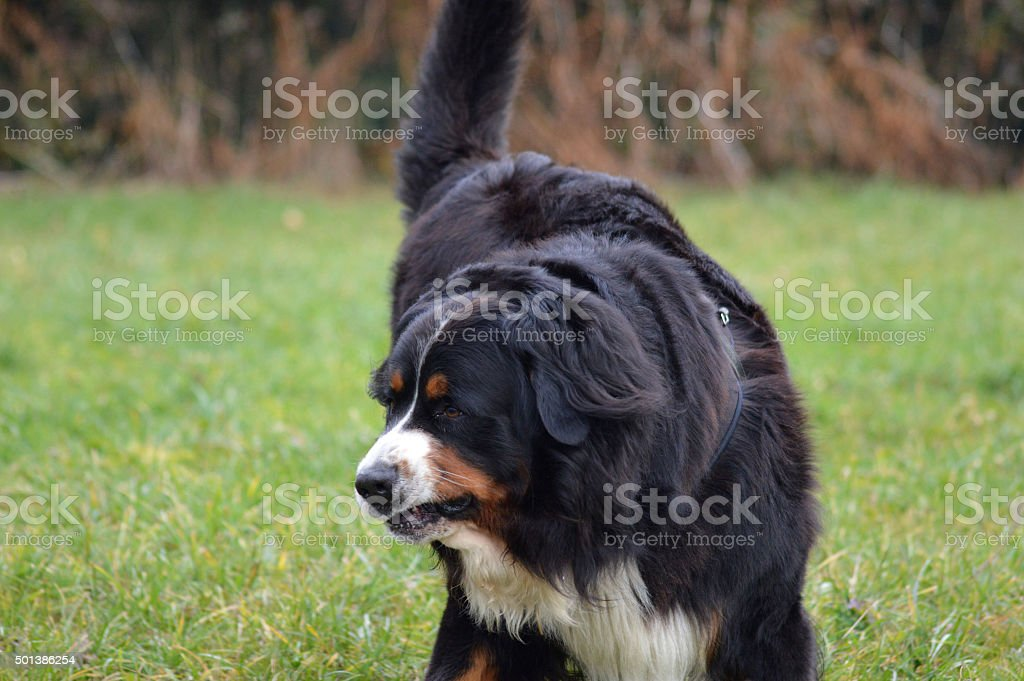 the Bouvier dog stock photo