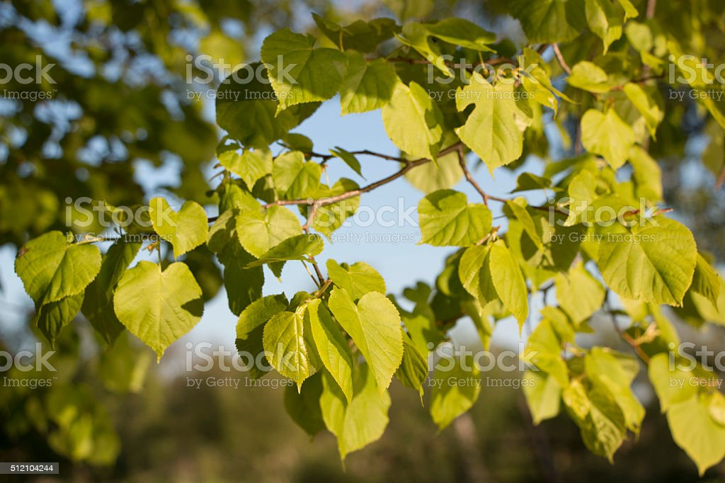 The branch of a linden stock photo