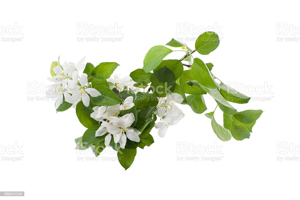 The branch of an apple-tree in the flowering period. stock photo