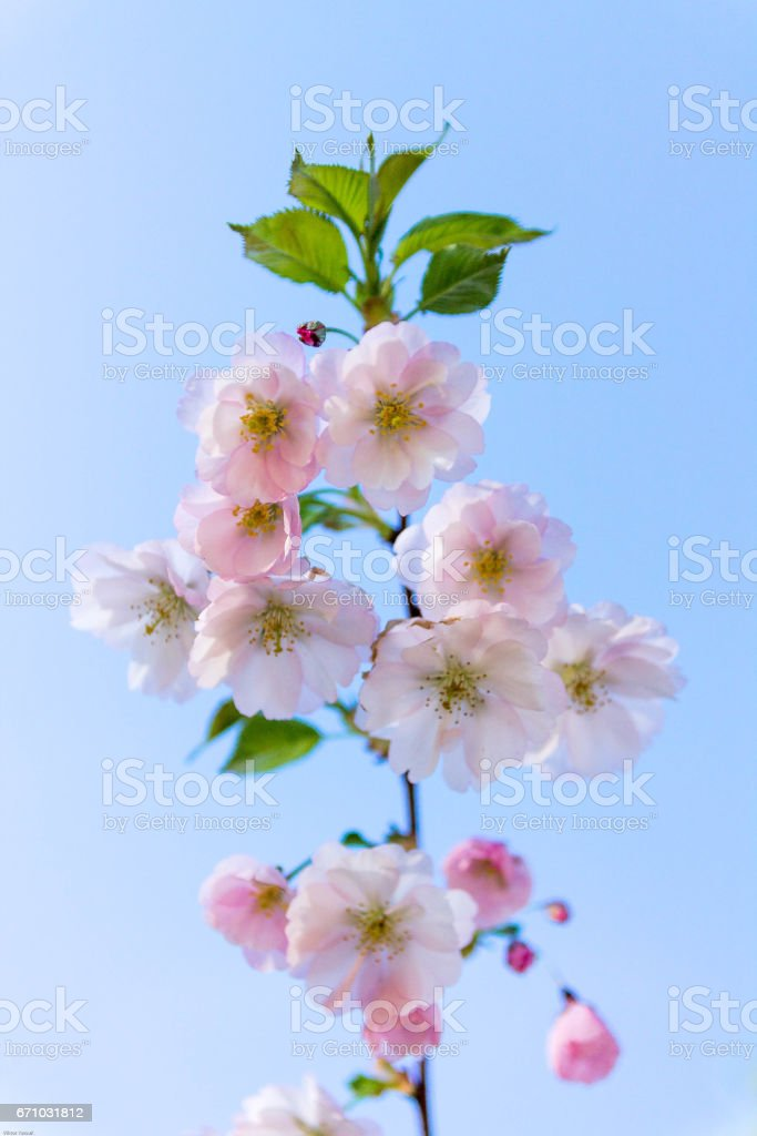 The branch of cherry blossoms against a background of blue sky. stock photo