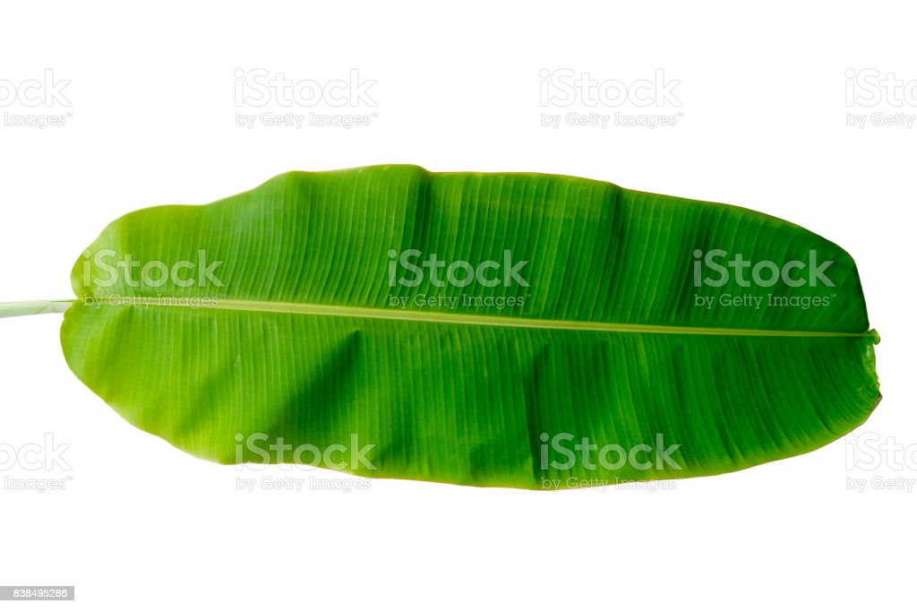 The branches and leaves are green on a white background stock photo