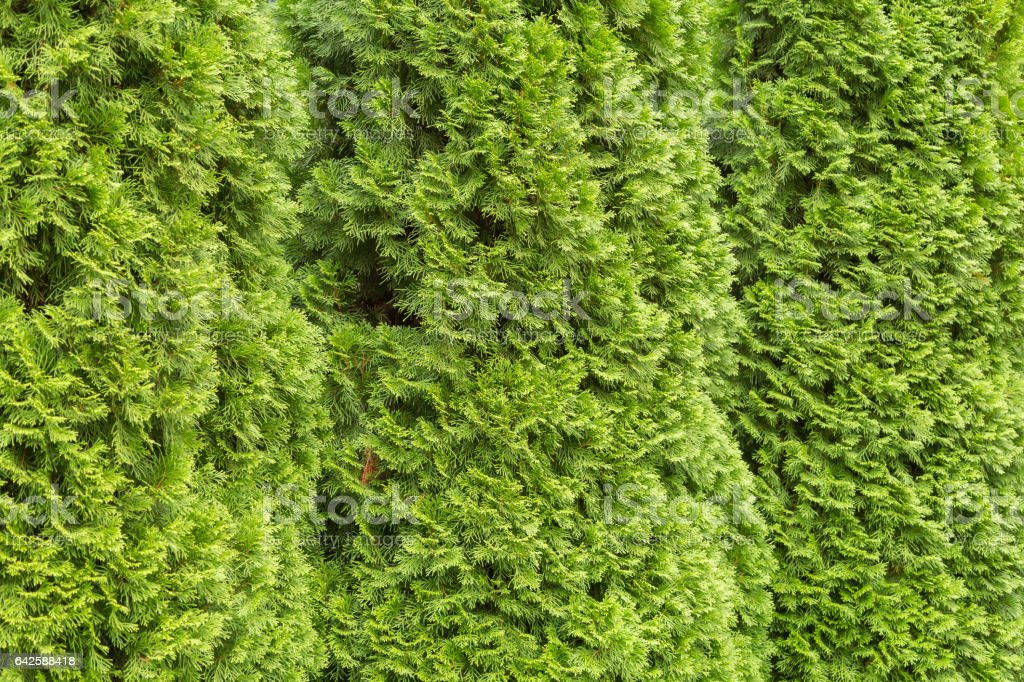 The branches of an evergreen tree arborvitae stock photo