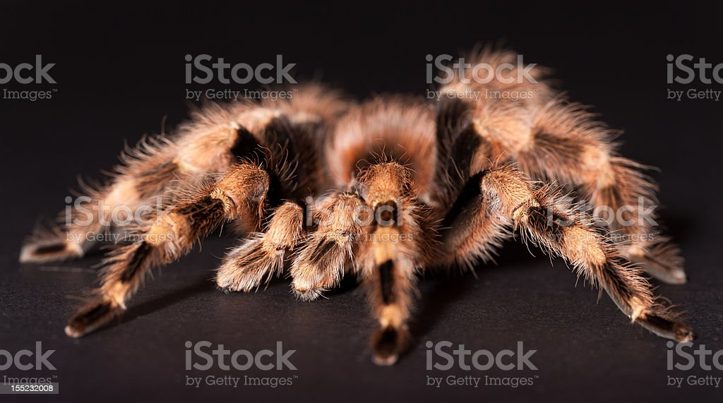 The Brazilian Black and White Tarantula royalty-free stock photo