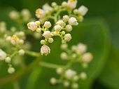 The Brazilian Pepper-tree Flowers Blooming