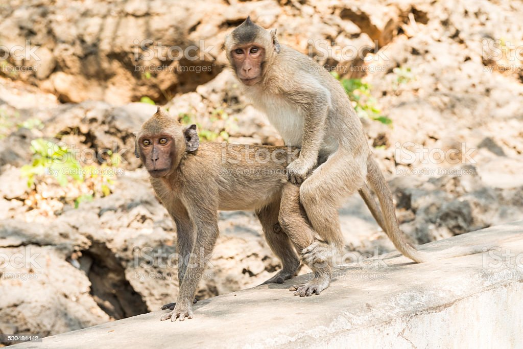 The breeding of monkey stock photo