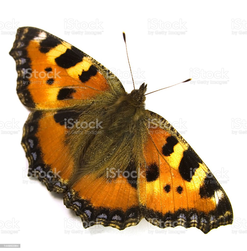 The bright big butterfly royalty-free stock photo