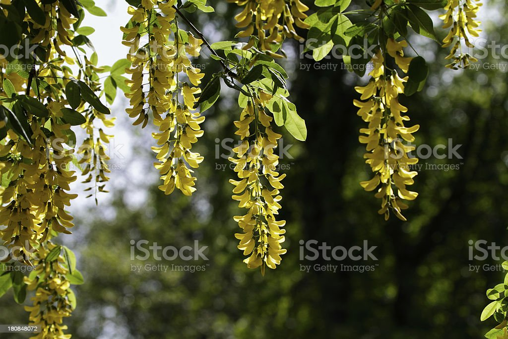 Yellow flowers on beautiful but poisonous laburnum tree royalty-free stock photo