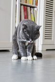The British Shorthair, indoor shooting