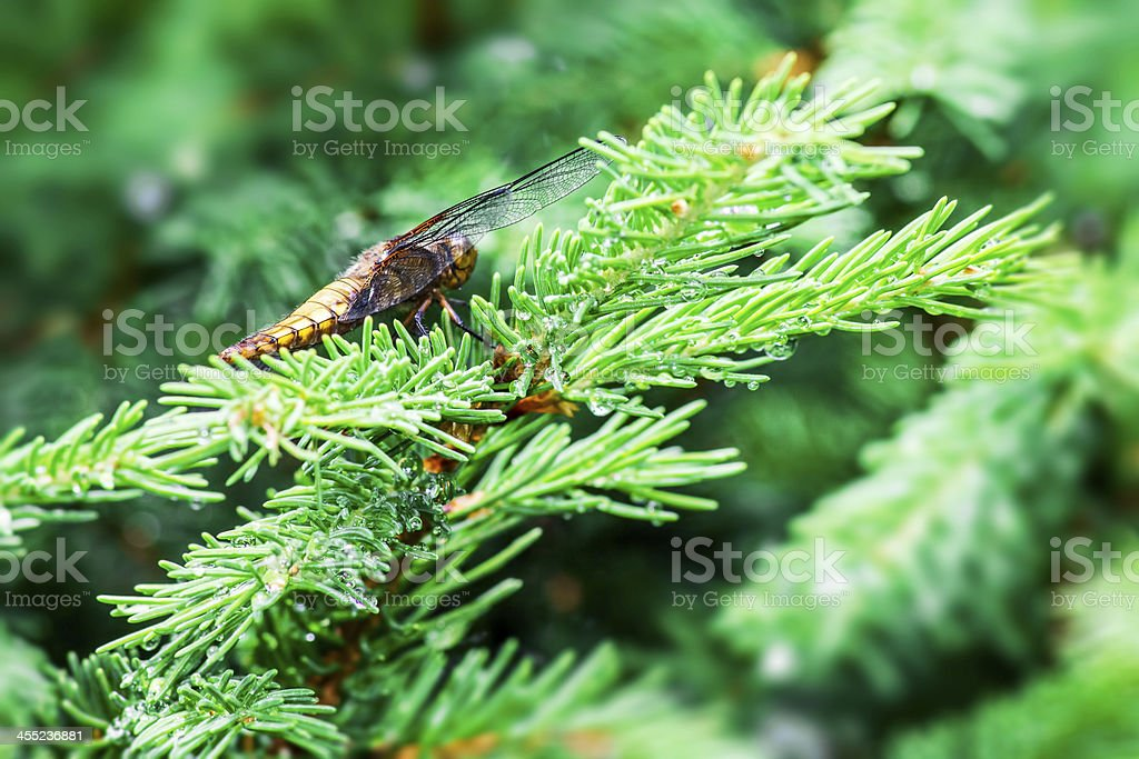 The Broad-bodied Chaser  (Libellula depressa) royalty-free stock photo