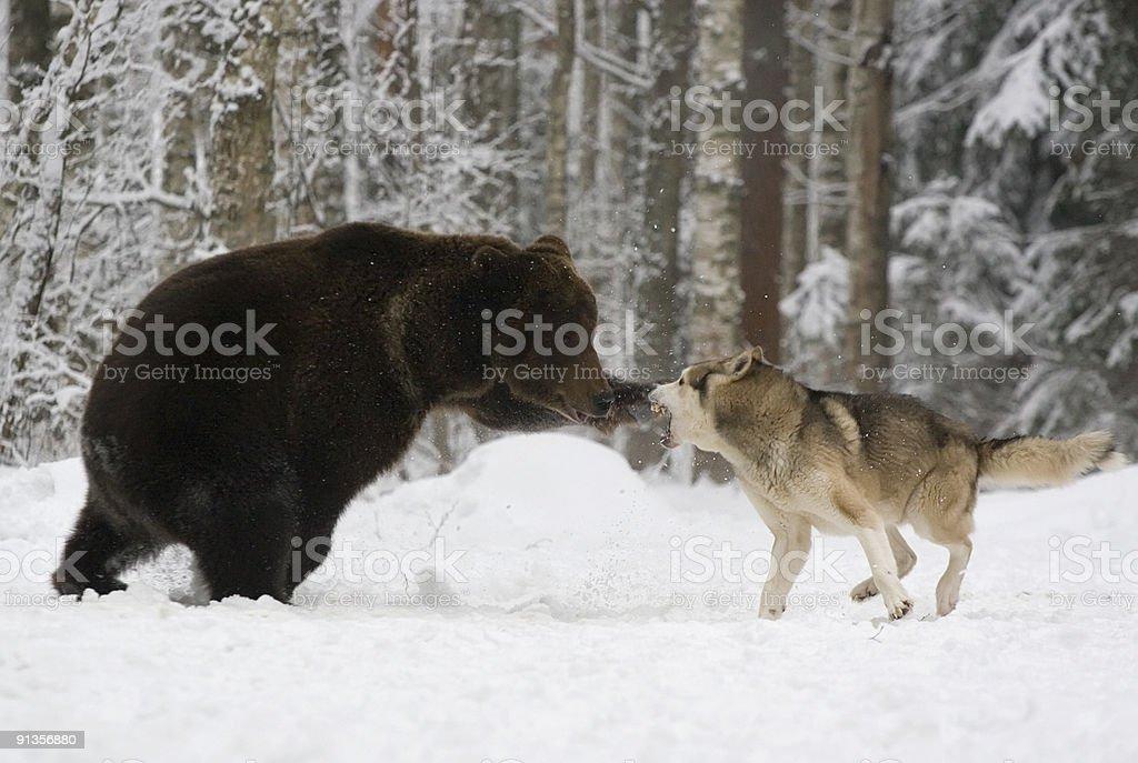 The brown bear attacks. royalty-free stock photo