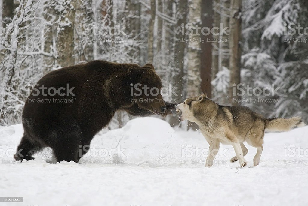The brown bear attacks. stock photo
