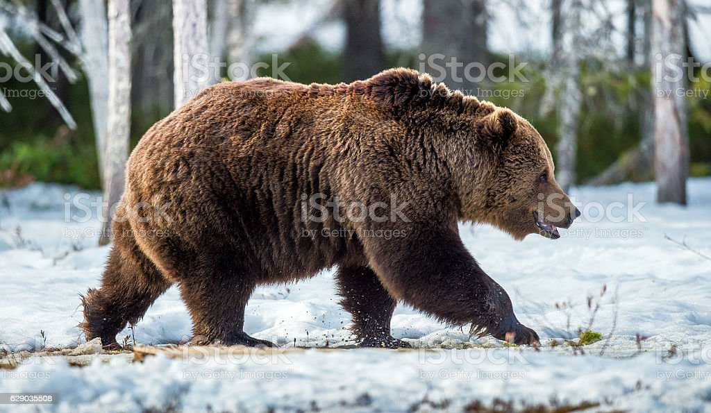 The Brown Bear in spring stock photo