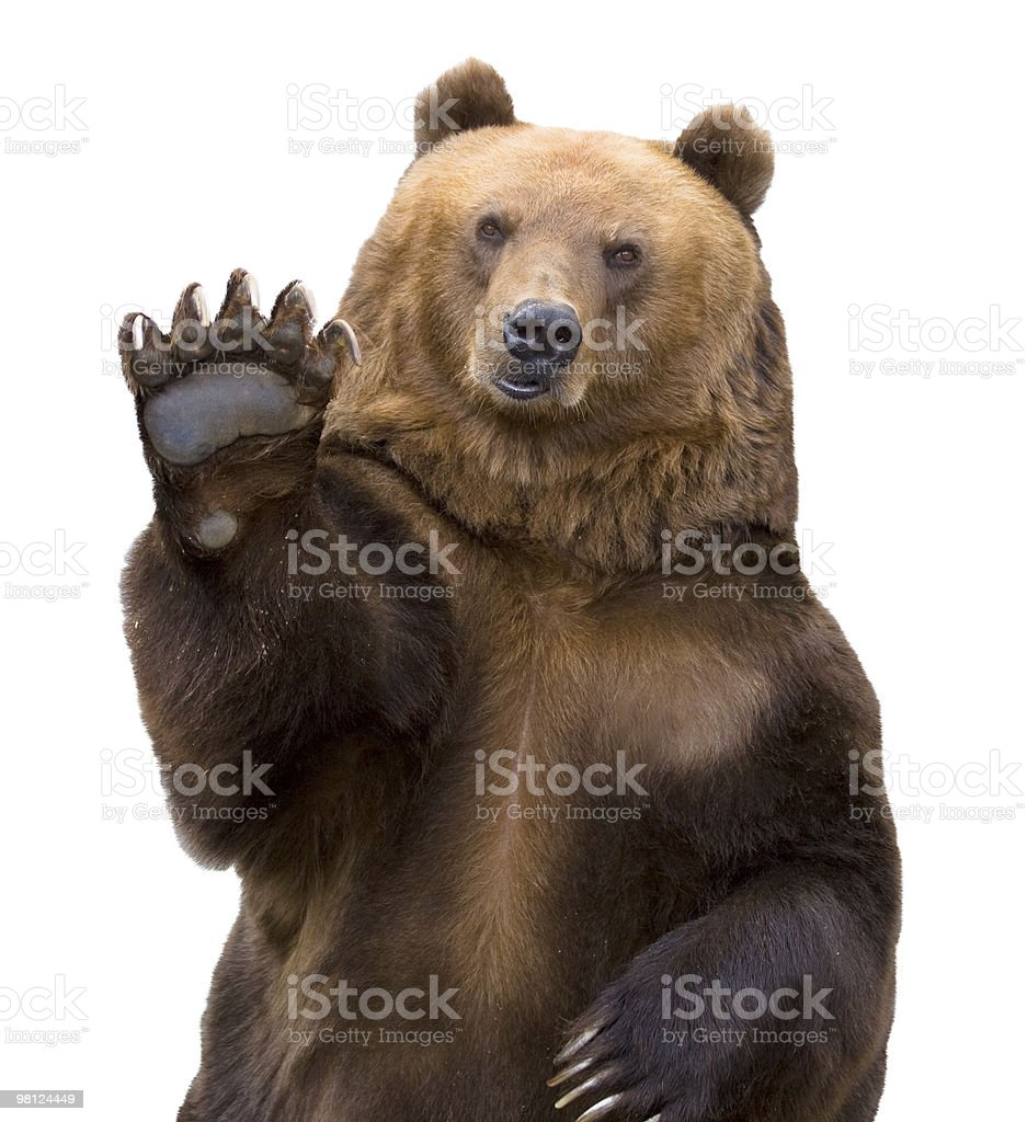 The brown bear welcomes (Ursus arctos). stock photo