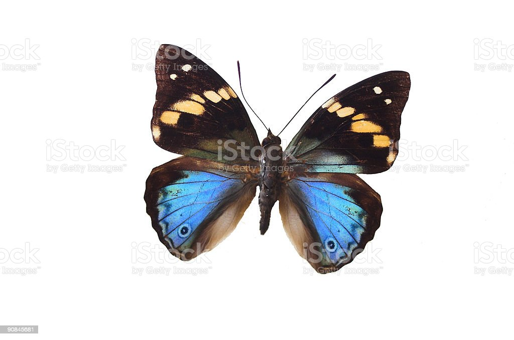The Brown Butterfly 3 royalty-free stock photo