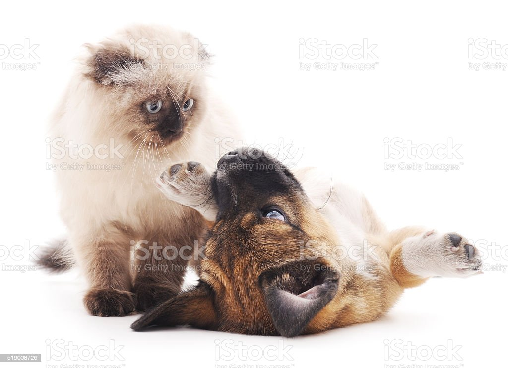 The brown cat and puppy. stock photo