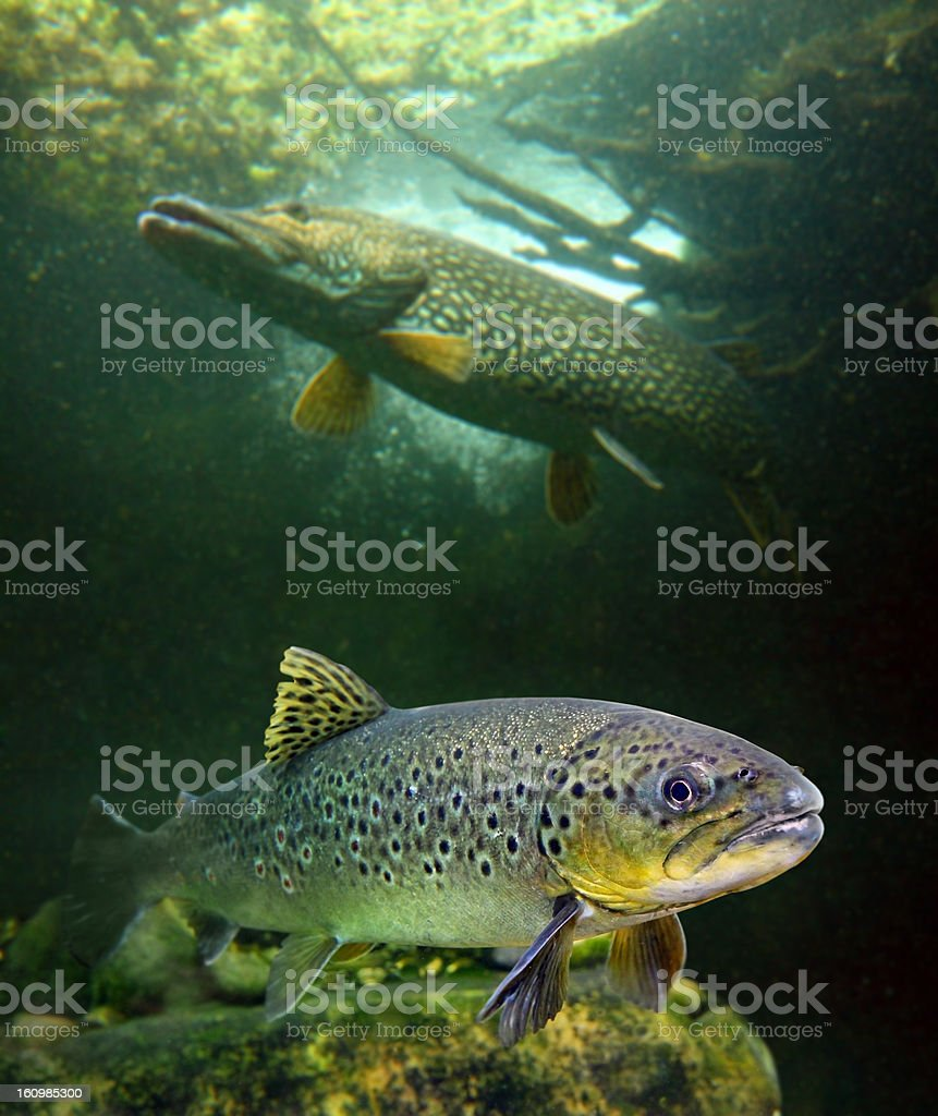 The Brown Trout and a Northern Pike. stock photo