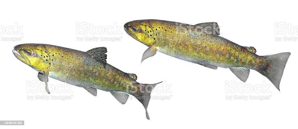 The brown trout (Salmo trutta morpha). stock photo