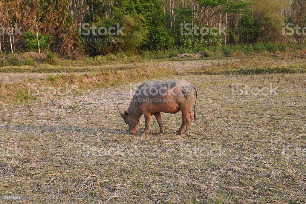 the buffalo is in the farm stock photo