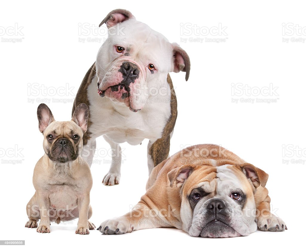 The Bulldog Family stock photo