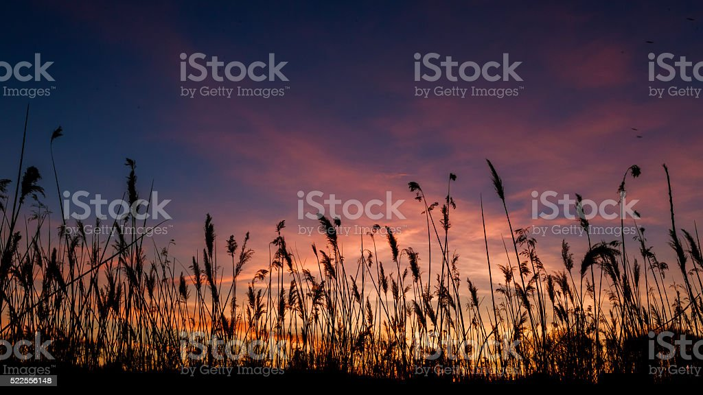 The bulrushes against sunlight over sky background in sunset with stock photo