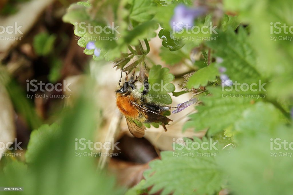 die Hummel stock photo