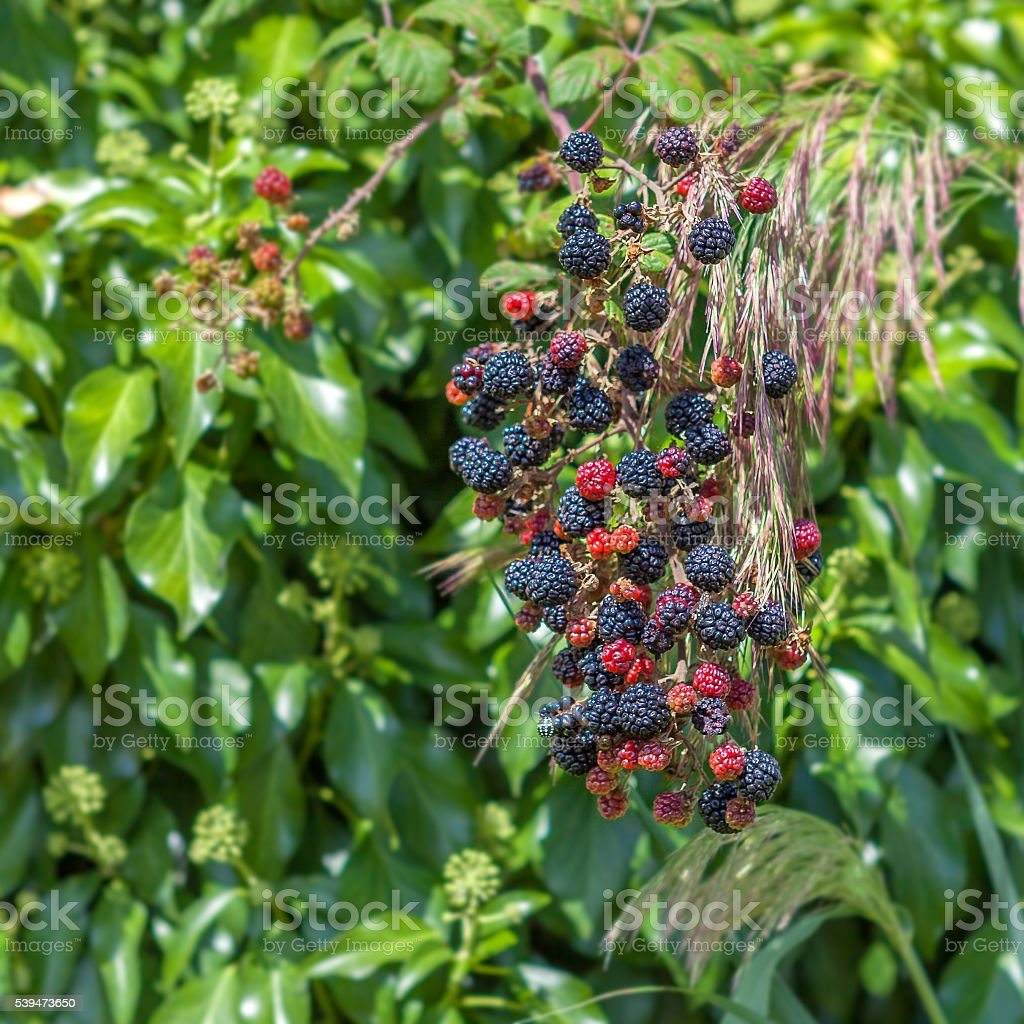 The bush ripe blue-red blackberry on background of green leaves. stock photo