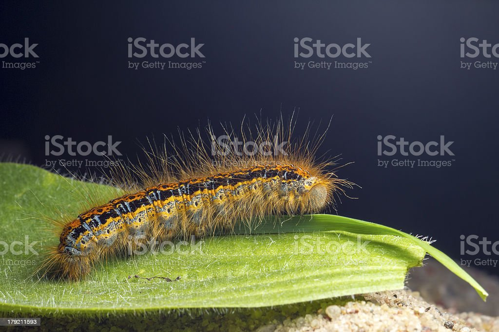 The Butterfly Caterpillar Larva royalty-free stock photo