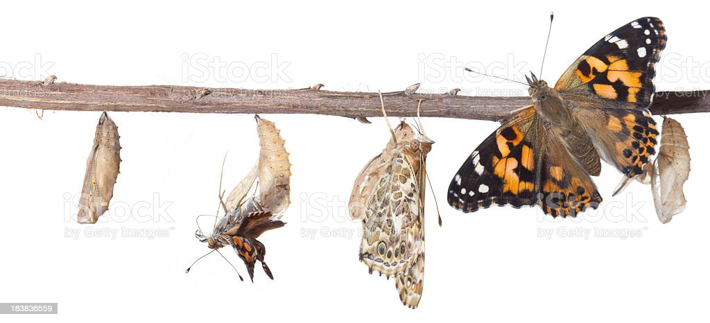 The Butterfly Metamorphosis From Chrysalis To Butterfly stock photo