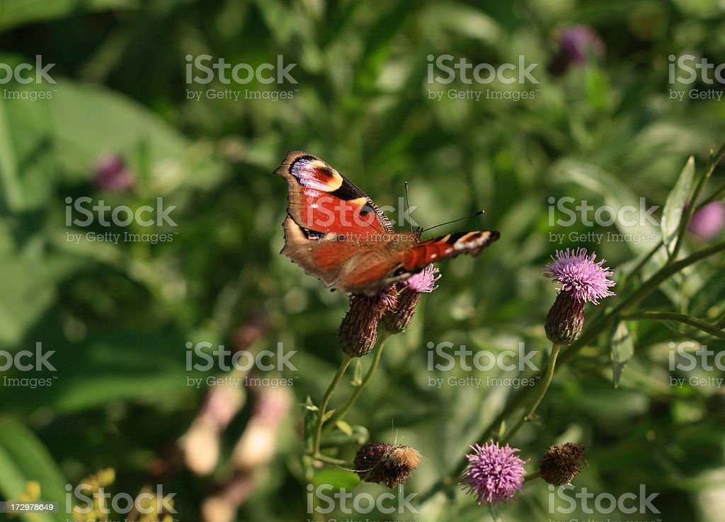 The butterfly on a flower royalty-free stock photo