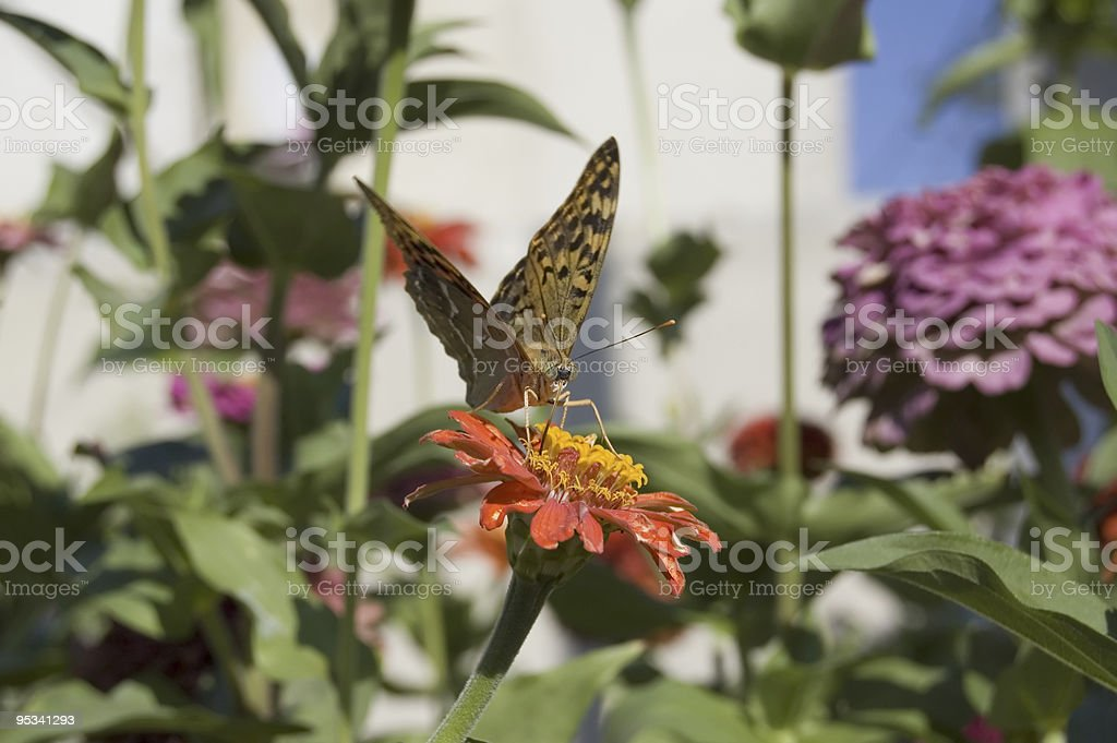 The butterfly pollinating a flower. royalty-free stock photo