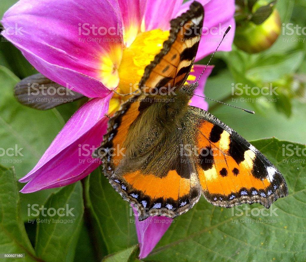 Se encuentra en la flor mariposa foto de stock libre de derechos
