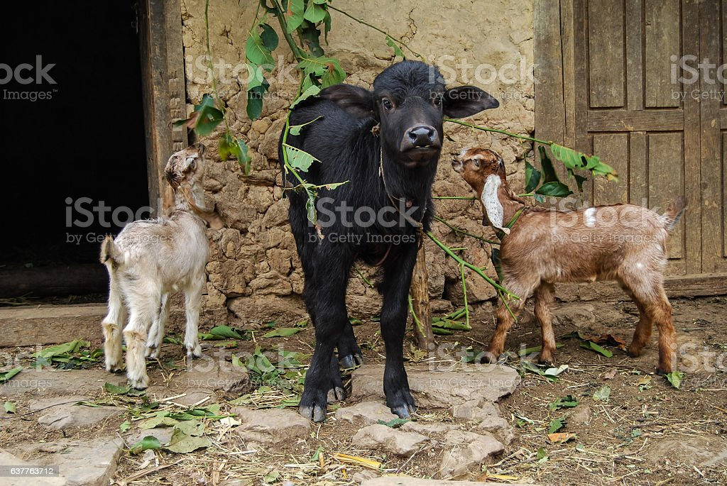 The calf with two young goats. Village in Nepal. stock photo