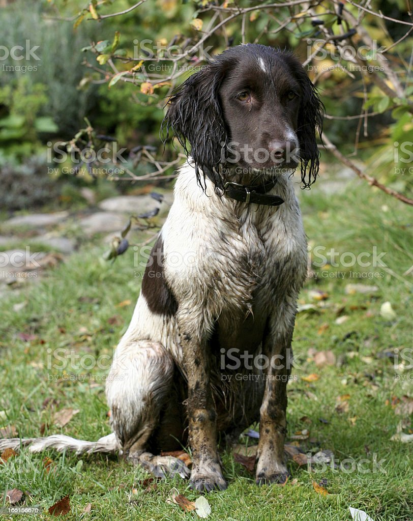 The Calm Hunting Dog stock photo