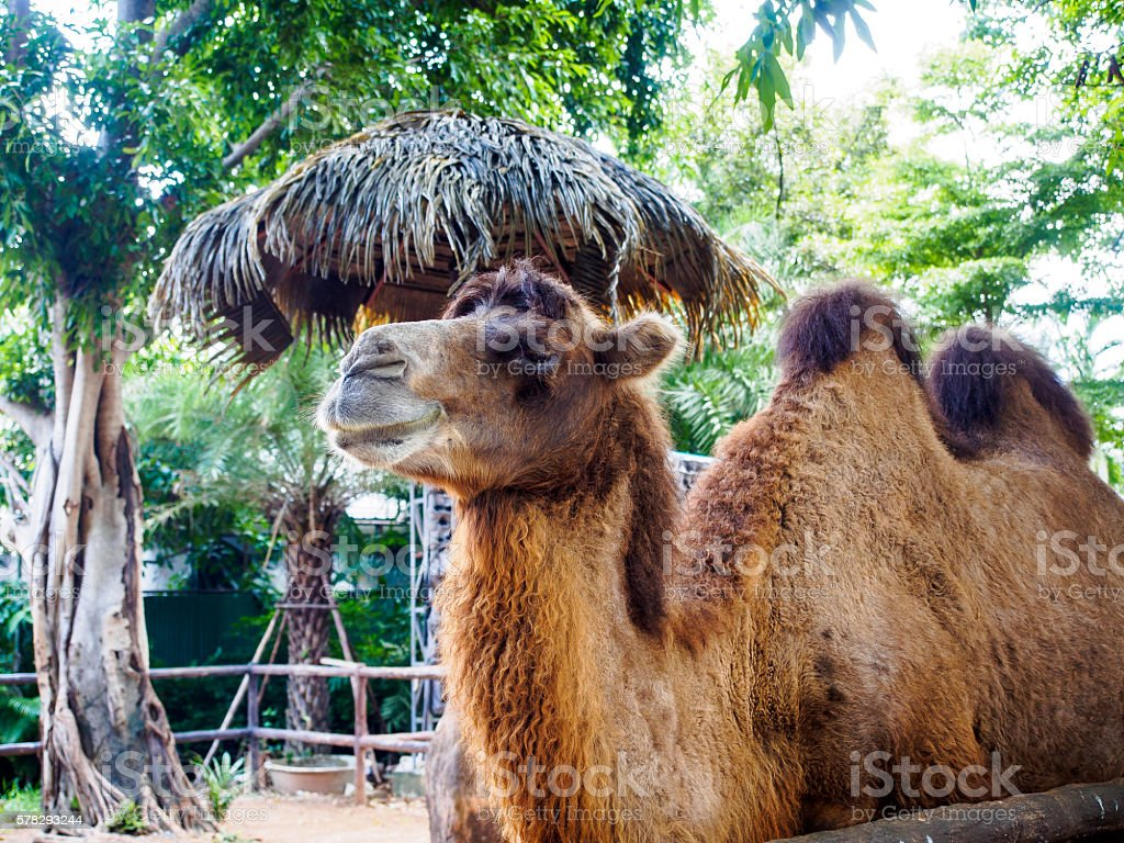 The Camel in Thailand stock photo