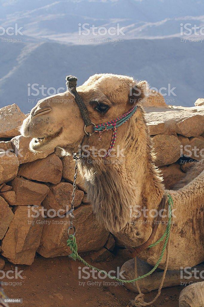 The camel smiles. royalty-free stock photo