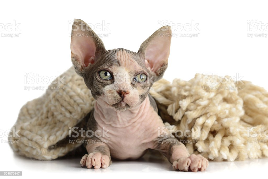 The Canadian sphynx close-up stock photo