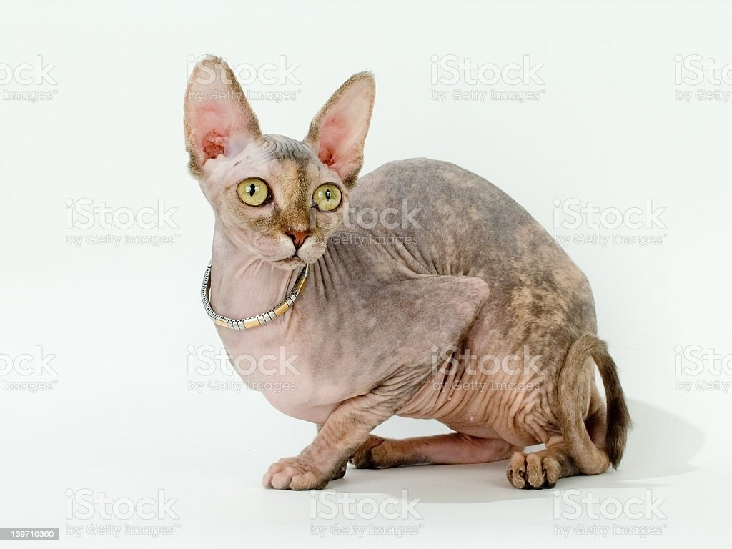 The Canadian sphynx stock photo