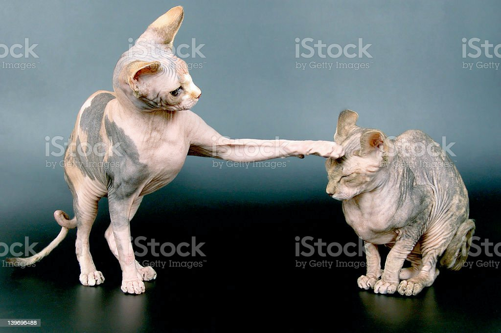 The Canadian sphynxes royalty-free stock photo