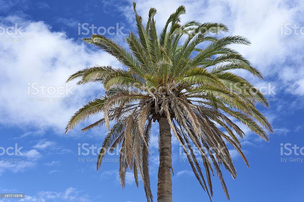 The Canary Island Date Palm Tree (Phoenix canariensis) against t royalty-free stock photo