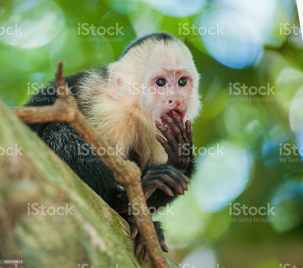 The Capuchin on a tree. stock photo
