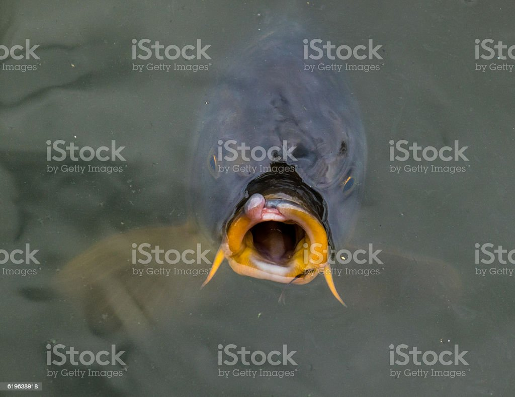 The carp fish in a pond water stock photo