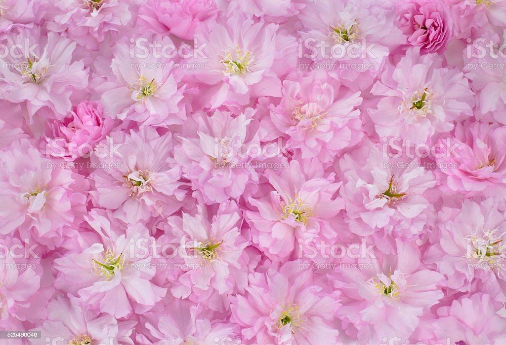 The carpet of cherry blossom stock photo
