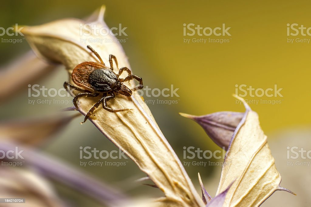 The castor bean tick (Ixodes ricinus) royalty-free stock photo